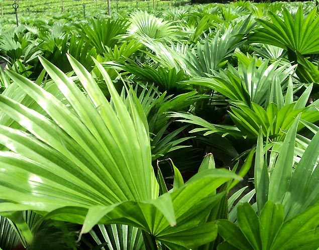 Greenet plants flowers pvt ltd for Sri lankan landscaping plants